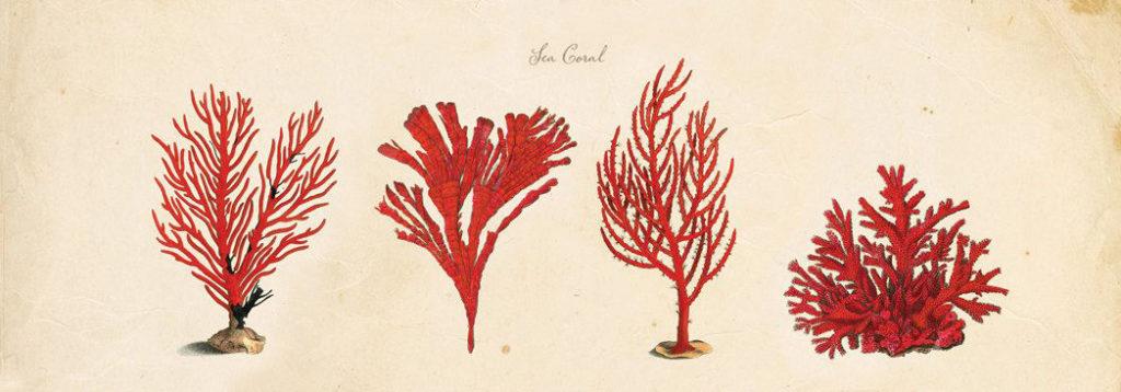 Disegno di 4 ramoscelli di corallo rosso in una stampa del 1700